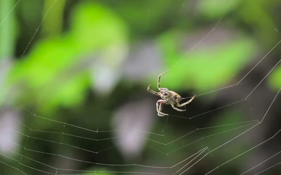 big-wisdom-spider