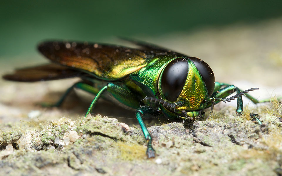 Top 6: Invasive Insects