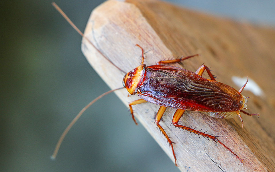 Cockroaches That Are Literally The Walking Dead