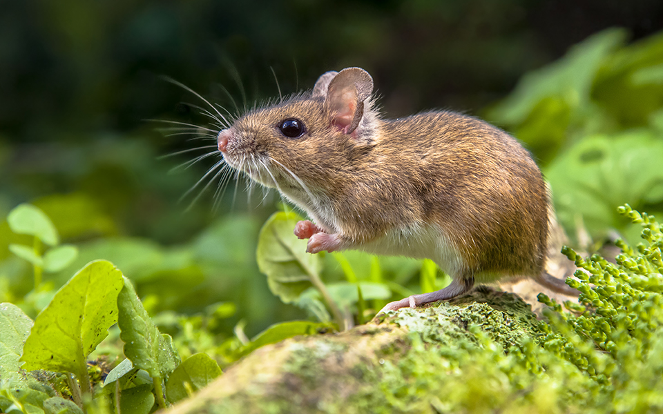 Mice Are Beneficial In Understanding Human Disease