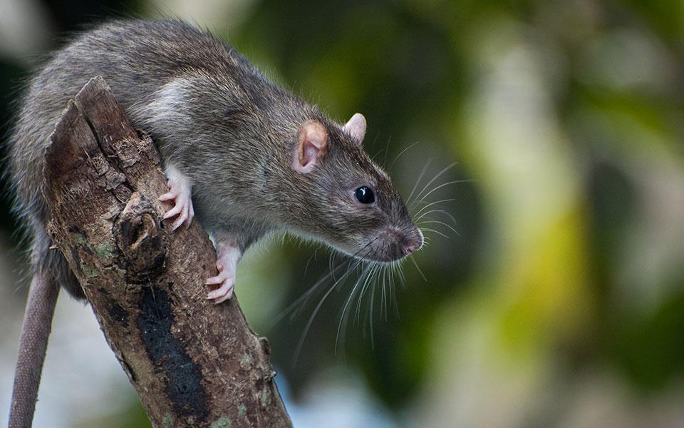 5 Reasons You Should Fear Rats